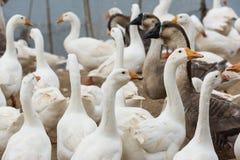Гусыни на ферме Стоковое Изображение RF