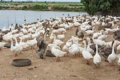 Гусыни на ферме Стоковые Фото