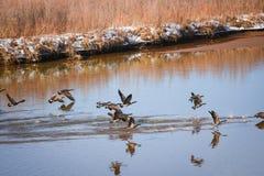 Гусыни на Green River, парке Колорадо коричневых цветов Стоковые Фото