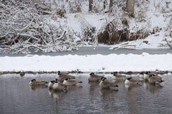 Гусыни отдыхая в реке после свежие снежности Стоковое Фото