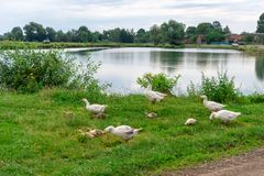 Гусыни пасут траву на банке пруда Жизнь в деревне Стоковое Фото