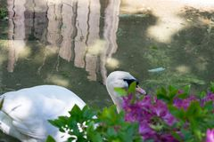 Гусыни плавают в бассейне Стоковые Фотографии RF