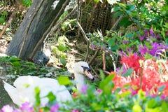 Гусыни плавают в бассейне Стоковое Фото