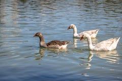 Гусыни плавая в озере на Barigui паркуют - Curitiba, Parana, Бразилию Стоковое фото RF