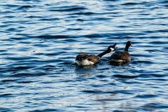 2 гусыни плавая в пруде на зоре Стоковая Фотография