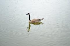 Гусыни плавая в пруде Стоковые Фотографии RF