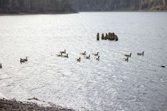 Гусыни плавая в реке Стоковые Фото