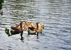 Гусыни плавая в реку с гусятами Стоковые Фото