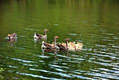 Гусыни плавая в реку с гусятами Стоковое Изображение RF