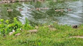 Гусыни плавая в ряд Стоковые Изображения