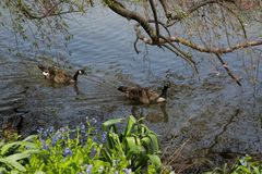 2 гусыни плавая мирно на малом пруде Стоковое Изображение