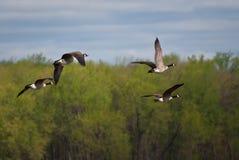 гусыни полета над валами Стоковое Изображение