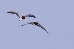 гусыни полета щипцев Стоковая Фотография