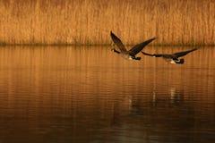 гусыни полета Стоковые Фото