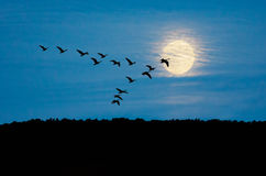 гусыни полета Стоковая Фотография RF