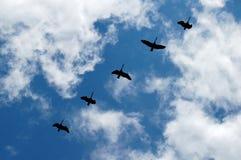 гусыни полета Стоковые Фотографии RF