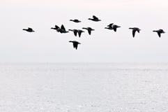 гусыни полета Стоковое фото RF
