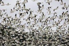 гусыни поля приземляясь снежок Стоковое Изображение