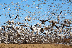 гусыни полета идут снег взятие Стоковые Изображения RF
