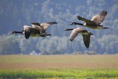 гусыни полета Канады Стоковая Фотография