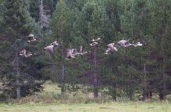 гусыни полета Канады Стоковое фото RF