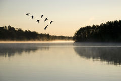 Гусыни приземляясь на восход солнца Стоковая Фотография