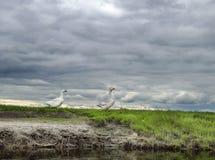 2 гусыни против фона облачного неба Стоковые Фото