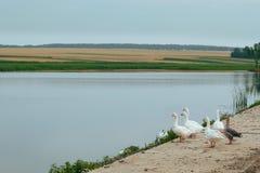 Гусыни птиц в природе рекой Стоковые Изображения