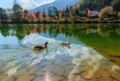 Гусыни плавают свободно Стоковое Фото