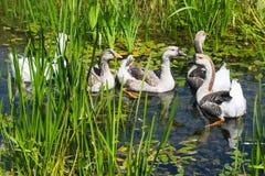 Гусыни плавая в болоте Стоковая Фотография