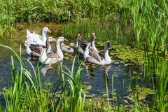 Гусыни плавая в болотистом пруде Стоковое Изображение