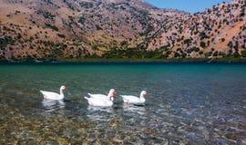 Гусыни плавая в воду Стоковые Фото