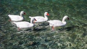 Гусыни плавая в воду Стоковое Изображение RF