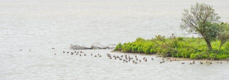 Гусыни плавая в озере вдоль маленького острова Стоковая Фотография RF