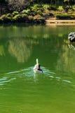 Гусыни плавая в озере Стоковое Изображение RF