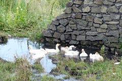 Гусыни плавая в пруде против каменной стены Стоковые Фото