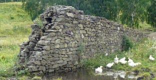 Гусыни плавая в пруде против каменной стены Стоковые Фотографии RF