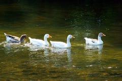 Гусыни плавая в реке на природе Стоковые Изображения