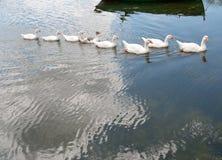 Гусыни плавая в строке в озере Стоковое Фото