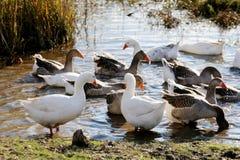 Гусыни плавая к другой стороне болота Стоковые Фото
