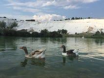 Гусыни плавая на озере в городке Pamukkale Denizli в Турции Стоковые Фотографии RF