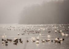 Гусыни плавая на озере Стоковые Изображения RF