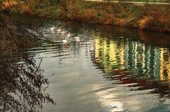 Гусыни плавая на реку Эльбу в парке города Pardubice (чехии) на солнечный день осени Стоковая Фотография