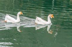 2 гусыни плавая совместно в озере Стоковое Фото
