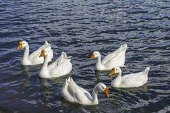 Гусыни плавая Стоковое Изображение