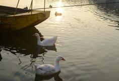 Гусыни, река и шлюпка Стоковое Фото