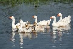гусыни семьи плавая белизна Стоковое фото RF