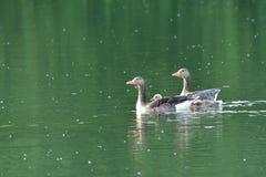 Гусыни семьи с заплыванием гусенка младенца на реке Стоковая Фотография RF