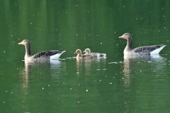 Гусыни семьи с заплыванием гусенка младенца на реке Стоковое Изображение RF