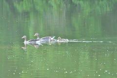 Гусыни семьи с заплыванием гусенка младенца на реке Стоковые Фотографии RF